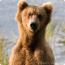 GrizzlyBear5_CarlChapman_219x219